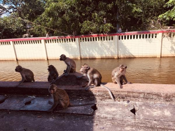 คณะสัตวแพทยศาสตร์ มข. จัดทำสะพานให้อาหารลิงแสมที่ประสบภัยน้ำท่วม ณ วนอุทยานโกสัมพี